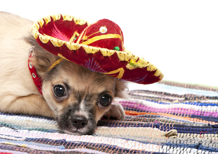 Chihuahua puppy with native Mexican hat and mat on white background photo