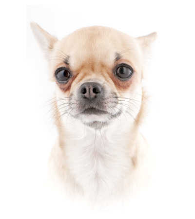 Chihuahua dog portrait close-up isolated in high key photo