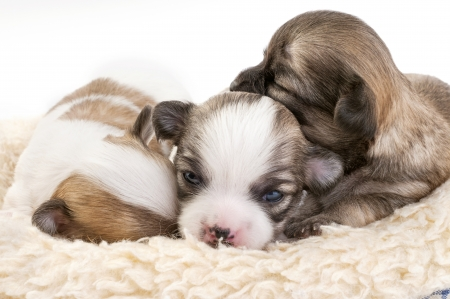 sweet chihuahua puppies litter huddled together in fur pet bed on white background photo