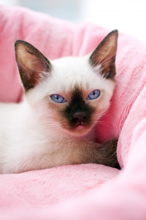 Thai kitten portrait on pink pet bed background photo