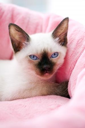 blue siamese cat: Thai kitten portrait on pink pet bed background