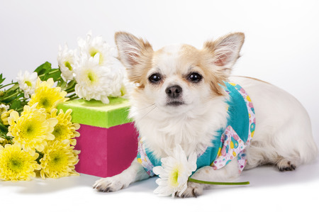 beautiful Chihuahua dog with gift box and flowers on white background photo