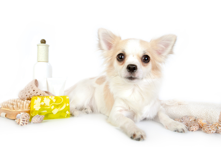 body grooming: beautiful chihuahua dog with spa accessories on white background