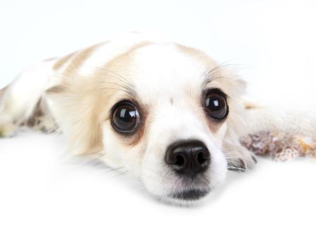 soulful eyes: Chihuahua dog lying down on white background