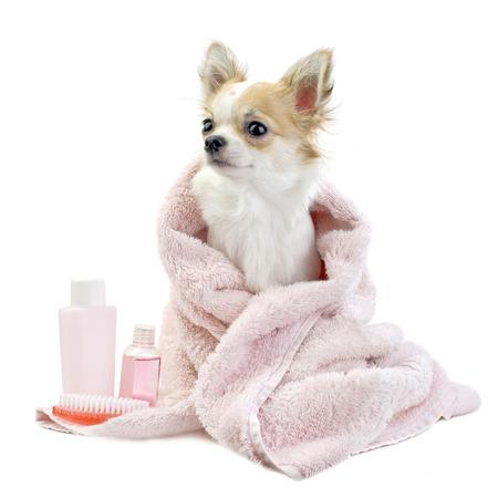 lavar: dulce Chihuahua con accesorios de spa y una toalla de color rosa aisladas sobre fondo blanco Foto de archivo