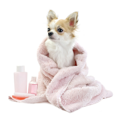 body grooming: sweet Chihuahua with spa accessories and pink towel isolated on white background Stock Photo