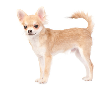 long haired chihuahua: young chihuahua dog stacking  on white background