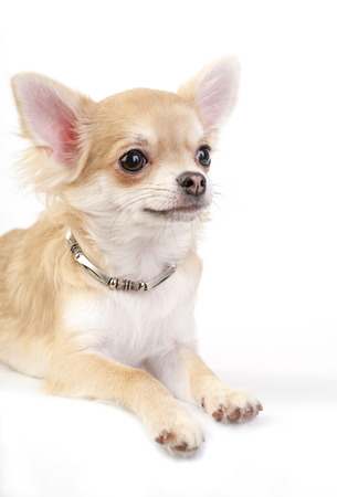 nice chihuahua puppy with silver necklace portrait lying down over white background photo