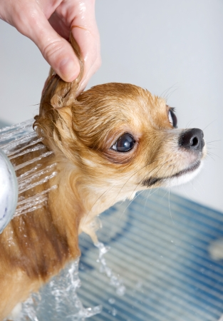 Chihuahua taking shower close-up in bathroom Stock Photo