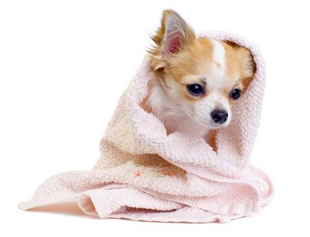 perro chihuahua: lindo perro Chihuahua con una toalla de color rosa sobre fondo blanco Foto de archivo