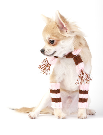 cute chihuahua puppy with striped socks and scarf sitting on white background photo