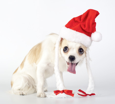 Funny Chihuahua Santa on white background photo