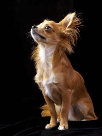 Tan with white chihuahua dog sitting on black background looking up photo