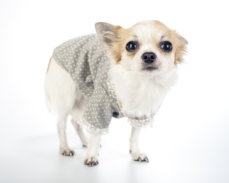 chiwawa: Glamour Chihuahua dog wearing fashion dress with pearl necklace standing on white background