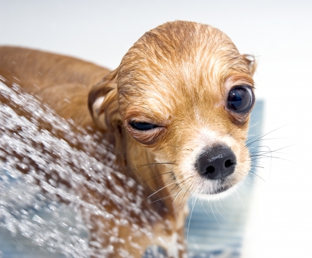 winking funny chihuahua dog taking  shower