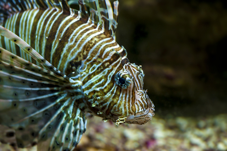 firefish: Common Lionfish or Devil firefish  Pterois miles  close-up in aquarium