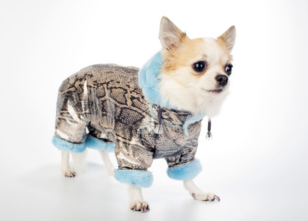 Chihuahua dressed in gold brocade winter coat with snake skin pattern and blue artificial fur photo