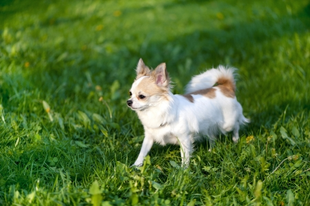 Chihuahua dog going towards sunset on green grass  photo