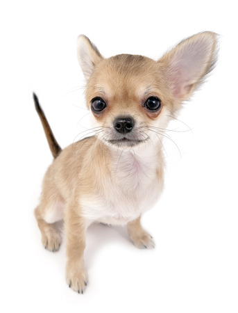 cute chihuahua puppy with sticking up tail sitting on white isolated