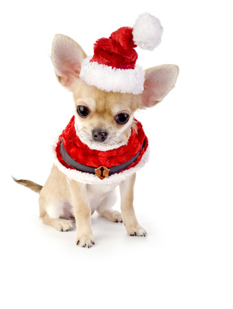 cute Chihuahua puppy with Santa costume isolated on white photo