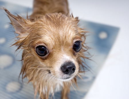 large-eyed wet chihuahua dog in bathroom
