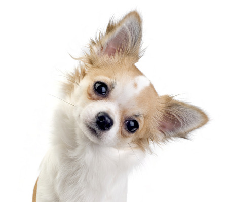 chihuahua dog tilting head on white background