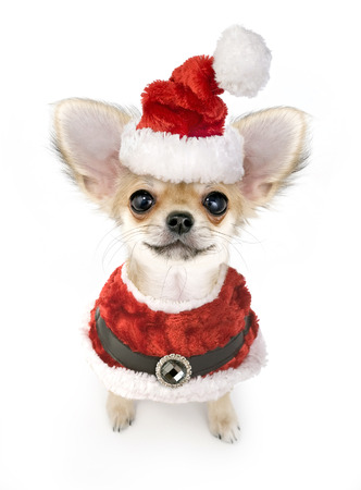 Christmas chihuahua puppy with Santa costume isolated on white background  photo