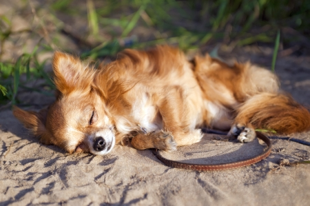 chihuahua dog dozing at beach photo