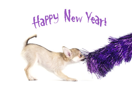frippery: playful chihuahua puppy with shiny purple tinsel on white background, for Christmas and New Year s greeting card design