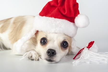 sad Santa Claus - Chihuahua dog wearing Santa hat with pigtails close-up on white background photo