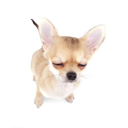 cute chihuahua puppy with closed eyes on white background photo
