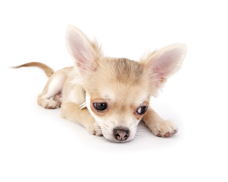 chihuahua puppy lying down on white background photo