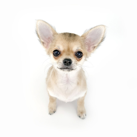 pale beige chihuahua puppy sitting on white background