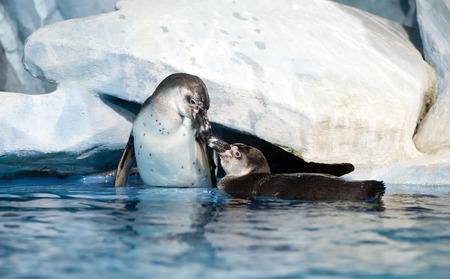 pair of playful penguins in Moscow oceanarium  Humboldt penguin, Peruvian penguin or Patranca