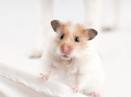 syrian hamster standing above white background photo