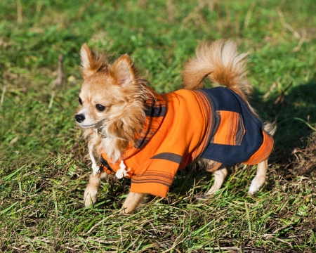 Chihuahua dog wearing bright orange jumpsuit for a walk on sunny autumn day photo