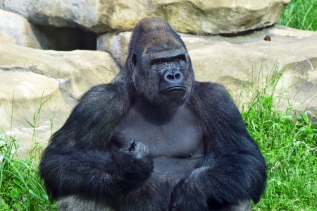 manlike: silverblack gorilla portrait, shooted at the zoo