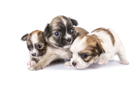 tiny three Chihuahua puppies timidly making first steps on white background 版權商用圖片