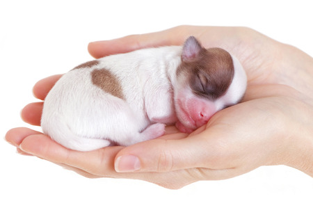 neonate: women s hands with tiny newborn chihuahua puppy close-up on white background