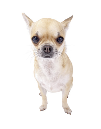 fawn with white chest Chihuahua dog  isolated on white background photo