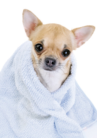 cute Chihuahua with blue towel close-up isolated on white background 版權商用圖片