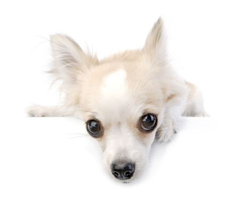 expressional: chihuahua puppy portrait with expressive eyes over white background