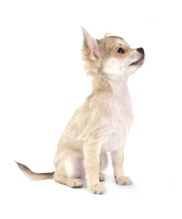 cute small chihuahua puppy sitting on white looking up isolated