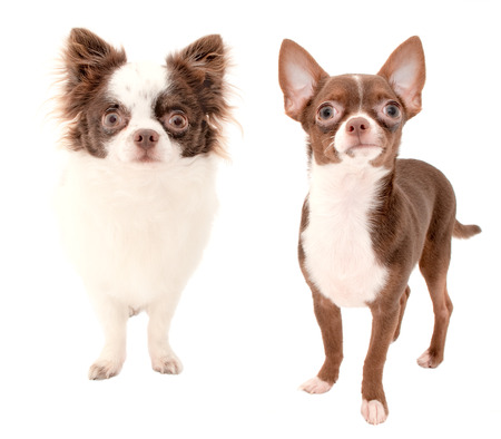 Long haired and smooth coat chocolate with white two chihuahua dogs isolated on white background  photo