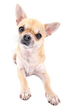 Nice chihuahua dog close-up lying down isolated on white background photo