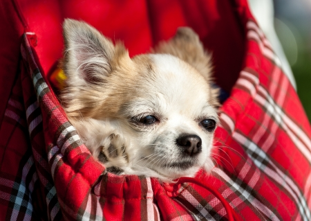 packsack: sweet chihuahua dog inside red checkered bag for pet carrier close-up outdoor shot Stock Photo