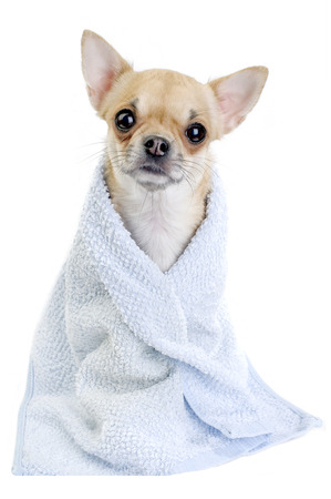 cute Chihuahua dog with blue towel close-up isolated on white background photo