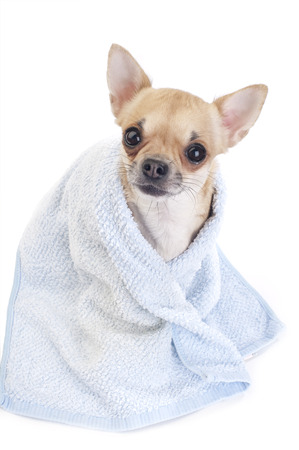 chiwawa: cute Chihuahua dog with blue towel close-up isolated on white background