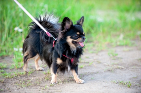 long-haired tricolor Chihuahua dog for walk on summer evening photo