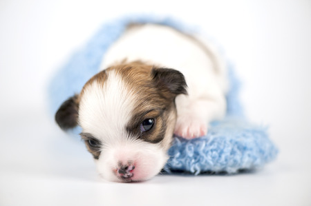 chiwawa: Three weeks old white with red Chihuahua puppy in blue slipper close-up on white background  shallow focus  Stock Photo